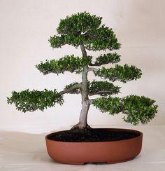 Myrte bonsai. myrtus bonsai