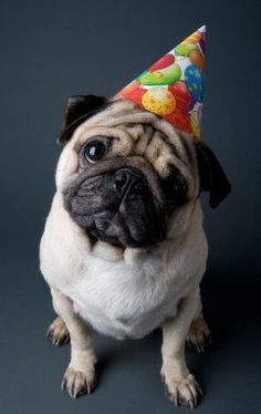 Happy birthday pug Memes This Mask Can Not Only Bring Your Comfort, Protect You From Dust, Adjustable M-shaped Nose Clip For A Comfortable Fit,Allows For Easy Breathability.Equipped With Two Replaceable Activated Carbon Happy Birthday Pug, Dog Birthday, Baby Animals, Funny Animals, Cute Animals, Raza Pug, Amor Pug, Pugs And Kisses, Pug Dogs