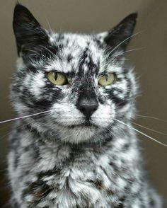 Stunning... like a Dalmatian Cat..
