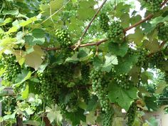 Cultivo de Uvas Verdes...