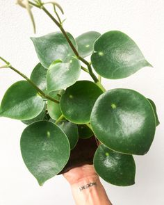 Plant Care, Evergreen, Plant Leaves, Tropical, Tips, Plants, Plant, Planets, Counseling