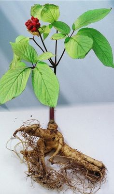 Ginseng for Cold Prevention, Diabetes Support Mental Functioning Growing Ginseng, Growing Herbs, Healing Herbs, Medicinal Plants, Herb Garden, Garden Plants, Bonsai Plants, Permaculture, Ginseng Plant