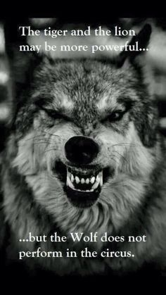 My spirit animal is the wolf. I am Christian but I believe in having sprit animals and I'm proud to be a wolf. Beautiful Creatures, Animals Beautiful, Cute Animals, Beautiful Wolves, Wild Animals, Beautiful Sunset, Wolf Quotes, Wolf Pack Quotes, Wolf Love