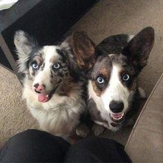 Cardigan Welsh Corgi, Blue Merle, Corgis, Cardigans For Women, Wolves, Dog Training, Best Dogs, Cute, Animals
