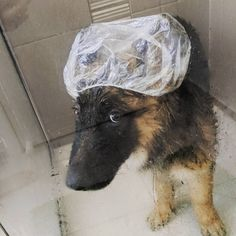 How long do you think this cap will stay on?! Follow Koomie @koomies_got_zoomies Use #gsdstagram to be featured!