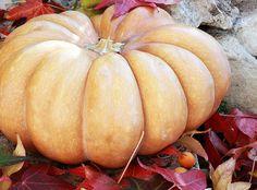 Rouge Vif d'Etampes aka the Cinderella Pumpkin. I swear one day I will grow these Glass Pumpkins, White Pumpkins, Fall Pumpkins, Cinderella Pumpkin, Autumn Garden, Autumn Art, Autumn Leaves, Corn Maze, Fall Harvest