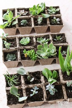 How to Propagate Succulents Learn how to take advantage of more gorgeous succulents in your home with these simple tips for propagating Flowering Succulents, Propagating Succulents, Growing Succulents, Succulent Gardening, Succulent Terrarium, Cacti And Succulents, Planting Succulents, Container Gardening, Planting Flowers