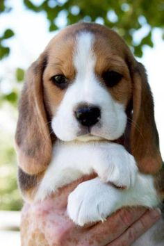 Are you interested in a Beagle? Well, the Beagle is one of the few popular dogs that will adapt much faster to any home. Whether you have a large family, p Cute Baby Animals, Animals And Pets, Funny Animals, Funny Dogs, Farts Funny, Cute Animals Puppies, Animals Planet, Funny Kittens, Wild Animals