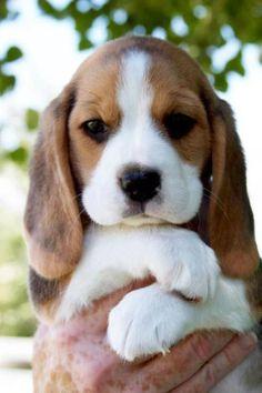 Sweet beagle ❤