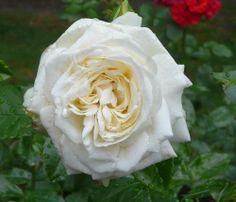 Floribunda Rose: Rosa 'La Paloma' (Germany, 1985)
