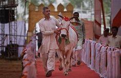 Un ganadero indio escolta a una de sus vacas durante un certamen de belleza bovina en Rohtak, India, el sábado 7 de mayo de 2016. Cientos de vacas y toros caminaron por la pasarela en un pueblo en el norte de India para participar en un certamen de belleza bovino, cuyo objetivo es promover la crianza de ganado autóctono y crear conciencia sobre la salud animal. (Foto AP/Altaf Qadri)