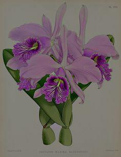 ❈ Fleurs Foncées ❈ dark art photography flowers & botanical prints - 1886, Cattleya Maxima