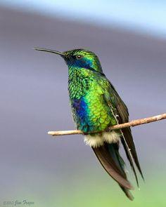 Costa's Hummingbird beautiful amazing