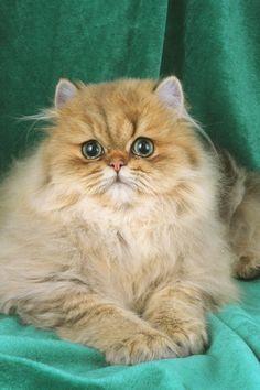 Gorgeous Persian cat