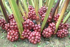 Кардамон ароматный (Амомум) Применение и дозирование Плоды стимулируют пищеварение, применяются при диспепсических явлениях, малярии. Рекомендуемая доза 3—6 г/сут. лечебные травы (лекарственные травы), народная медицина. растения, цветы
