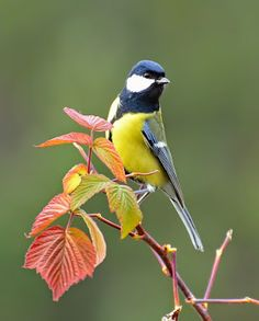 "Photo from album ""ПТИЦЫ"" on Yandex. Cute Birds, Pretty Birds, Beautiful Birds, Exotic Birds, Colorful Birds, Wildlife Photography, Animal Photography, Parus Major, Different Birds"