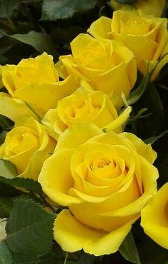 Yellow Rosses