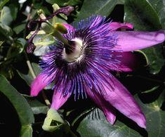 http://jungletropicale.com/2012/09/passiflora-amethyst/    #jardinage #fleurs #passiflores    Cliquer l'image pour lire l'article.