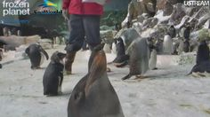 Live penguin video feed... watch for 30 seconds before something makes you giggle like a school girl
