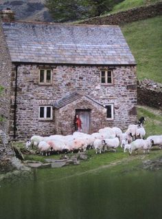 When you answer your front door and find a few dozen sheep who just want to hang out & chill...