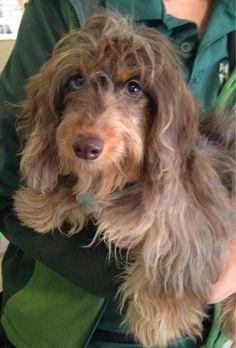 soft wire haired dachshund - Google Search #Dachshund