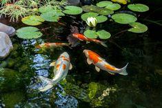 Lake Maintenance Advice - Preventing The Buildup of Algae 1 Dragon Koi Fish, Koi Fish Pond, Fish Ponds, Dragon Art, Koi Fish Aquarium, Koi Fish Drawing, Koi Fish Tattoo, Fish Drawings, Koi Fish Care