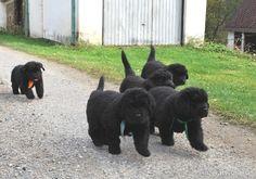 Newfoundland dog puppies For Holly! Cute Puppies, Dogs And Puppies, Doggies, Animals And Pets, Cute Animals, Small Animals, Terra Nova, Newfoundland Puppies, Mastiff Breeds