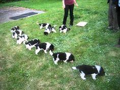 newfoundland puppi