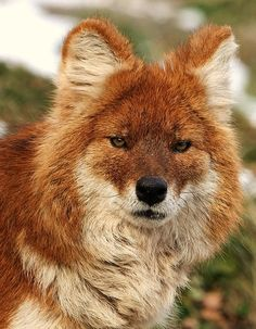 Dhole - Asiatic wild dog (Cuon alpinus) The dhole makes some extraordinary sounds: it can whistle, scream, mew, and even cluck like a chicken!  by John Kuk