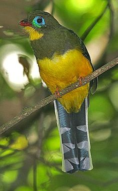 .the colourful Sumatran (Blue-tailed) Trogon