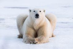 Photography Tours, Wildlife Photography, Animal Photography, Polar Bear Illustration, Ethiopian Wolf, Sloth Bear, Bull Moose, Canada Images, River Otter