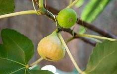 How To Grow Figs  http://www.rodalesorganiclife.com/garden/how-to-grow-figs?utm_campaign=Rodale%2527s%2520Organic%2520Life