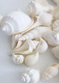 "Natural Sea Shells with Pearl Finish in Acrylic Box - 30 Shells - 1.25""-3.5"" Long x 1""-2.75"" Wide"