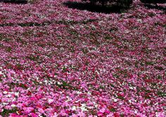 #cosmos #autumn #flowers #ig_flowers #コスモス #秋桜