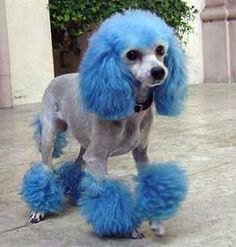 Poodles This is more like Bo's style. How do you think this would look on a Standard Poodle? Poodle Grooming, Cat Grooming, Animals And Pets, Funny Animals, Cute Animals, Beagle, Poodle Cuts, Tea Cup Poodle, Beautiful Dogs