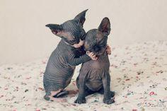 baby sphynx kittens!!