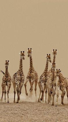 Giraffenherde in Afrika