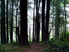 Misty redwoods at the start of the Carruthers Cove Trail, Prairie Creek Redwoods State Park