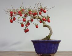 The Japanese Persimmon is another great Mame bonsai as it packs a punch in a small form with bright orange fruits. It originates from China and is also called the Kaki Persimmon and Asian Persimmon. The fruits are edible and they are generally grown in China and Asia for fruit production. As bonsai they should… Continue reading →