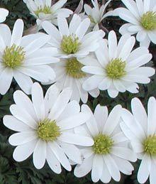 Anemone blanda 'White Splendour' - Weiße Frühlings-Anemone