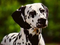 dalmation dog photo | Big Dalmatian Dog | Dog Wallpaper, Puppy and Photos