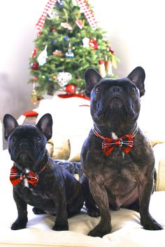 Merry Christmas, from 2 Blue French Bulldogs in Holiday Plaid Bow Ties. Christmas Animals, Christmas Dog, French Christmas, Merry Christmas, Beautiful Dogs, Animals Beautiful, Cute Animals, Cute Puppies, Cute Dogs