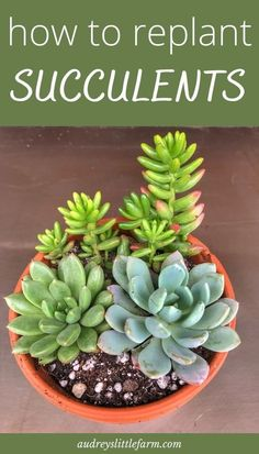Replanting Succulents, Transplant Succulents, Types Of Succulents, How To Water Succulents, Growing Succulents, Succulents In Containers, Container Flowers, Container Plants, Caring For Succulents Indoor
