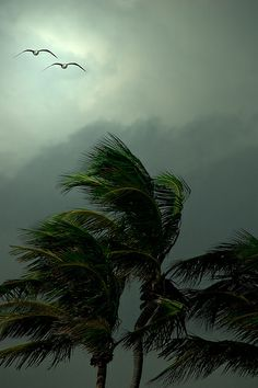 tropical storm (not one of my photos) I just love palm trees and storms. Blowin' In The Wind, Palmiers, Windy Day, All Nature, The Villain, Photos, Pictures, Mother Earth, Beautiful World