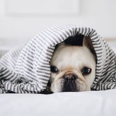 @piggyandpolly, French Bulldog ❤ on Instagram