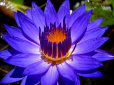 nymphaea_out-of-the-blue.jpg (1024×768)