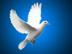 The ever new collection of white pigeon bird widescreen hd wallpaper