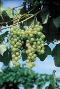 Growing Grapes in Northern Climates