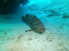 Goliath Grouper, resident of The Tibbets