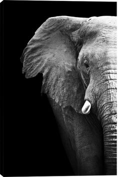 Elephant Close Up Animal Canvas Wall Art Print by Unknown